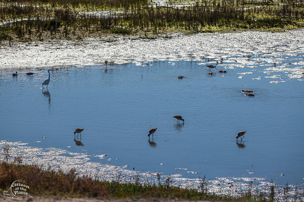 Waterbirds, Bolsa Chica Ecological Reserve, Orange County, California, USA