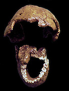 Homo Habilis.  Leakey et al 1964.  East and southern africa.  Casts of tibia and fibula