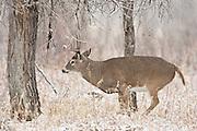 Whitetail deer working a scrape during rut in Wyoming(Odocoileus virginianus)