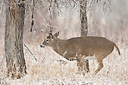 Whitetail deer working a scrape during rut in Wyoming(Odocoileus virginianus)