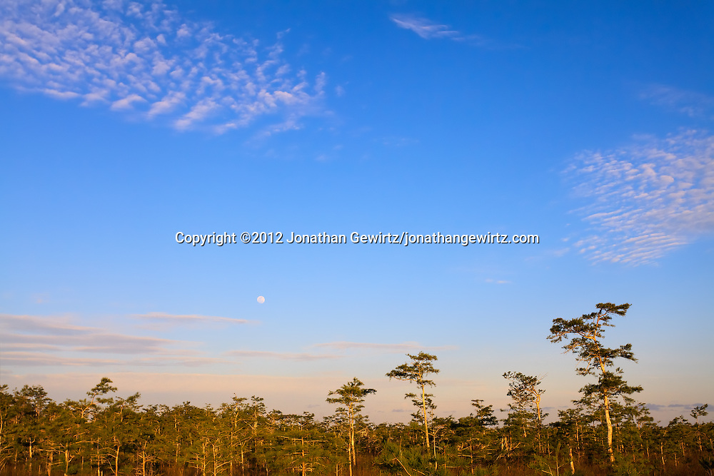 Moonrise over a Cypress forest in Everglades National Park, Florida, one day before a full moon. WATERMARKS WILL NOT APPEAR ON PRINTS OR LICENSED IMAGES.