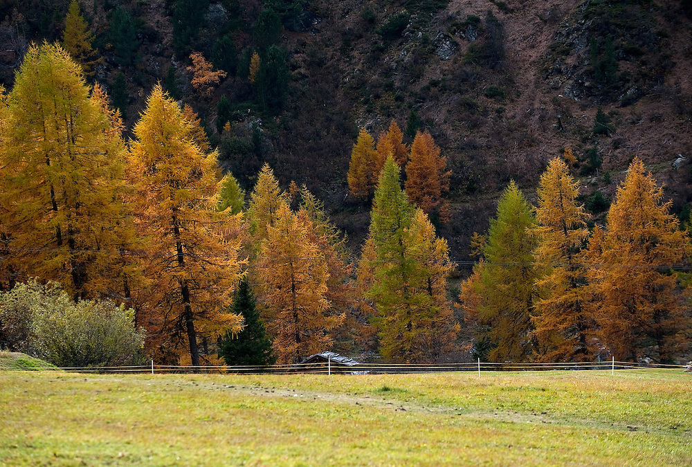 BOLZANO, ITALY - OCTOBER 14:   .A general view of a forest in Solda that as Autumnal colours appearing  on October 14, 2010 in Bolzano, Italy. Italy is currently enjoying the final warm spells of the summer,however, theshortening daylight hours and cooler weather is bringing Autumn foliage colours across the country.