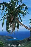 pandanus tree, or screw pine, Pandanus tectorius, Guam, USA, Micronesia, ( Western Pacific Ocean )