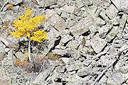 A bright yellow quaking aspen (Populus tremuloides) grows on a steep rocky hill slope above Black Joe Creek, Jim Bridger Wilderness, Wind River Range, Wyoming.