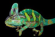 Veiled chameleon, Chamaeleo calyptratus, captive, native to Southern Saudi Arabia, green and yellow colours