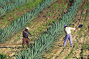 Juan Cruz and Pedro Mendoza search for red agave worms while cultivating their maguey cacti; the worms end up in tequila bottles to both certify the regional authenticity and to confirm the proof of the brew, as well as on dinner plates fried with corn tortillas, refried beans, grated cheese, sour cream, and avocado to make Chinicuiles con Aguacate, near Matatlán, Mexico. (Man Eating Bugs page 114-115)