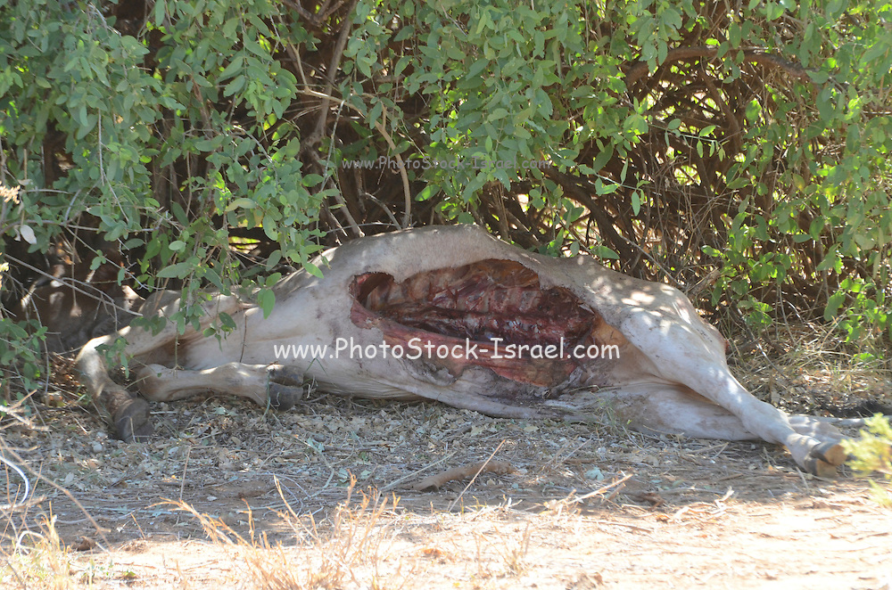 A carcass of a hunted animal