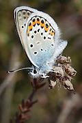 Male silver-studded blue butterfly (Plebeius argus) on the heath at Studland, Dorset, UK.