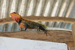 Sri Lankan Common Garden Lizard