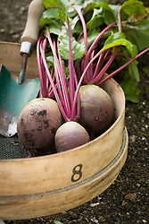 Harvested beetroot in a wooden sieve