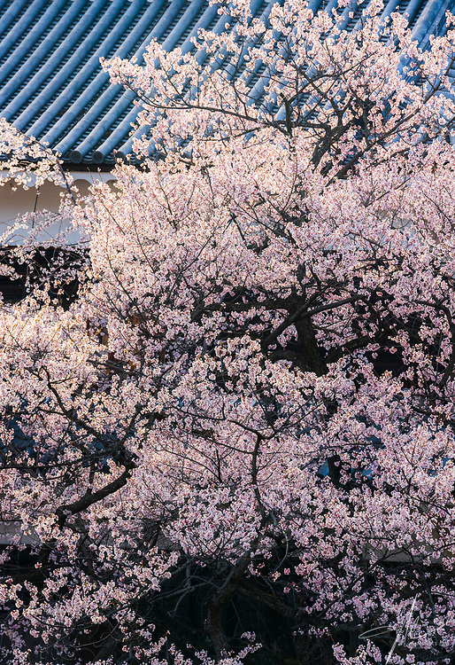 The castlles in Nagano is a wonderful public space for the locals to appreciate Sakura during the Full Blossom time.