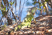 Green Iguana (Iguana iguana) lizards relax in the sun at the Blue Hole Park, Big Pine Key, Florida.