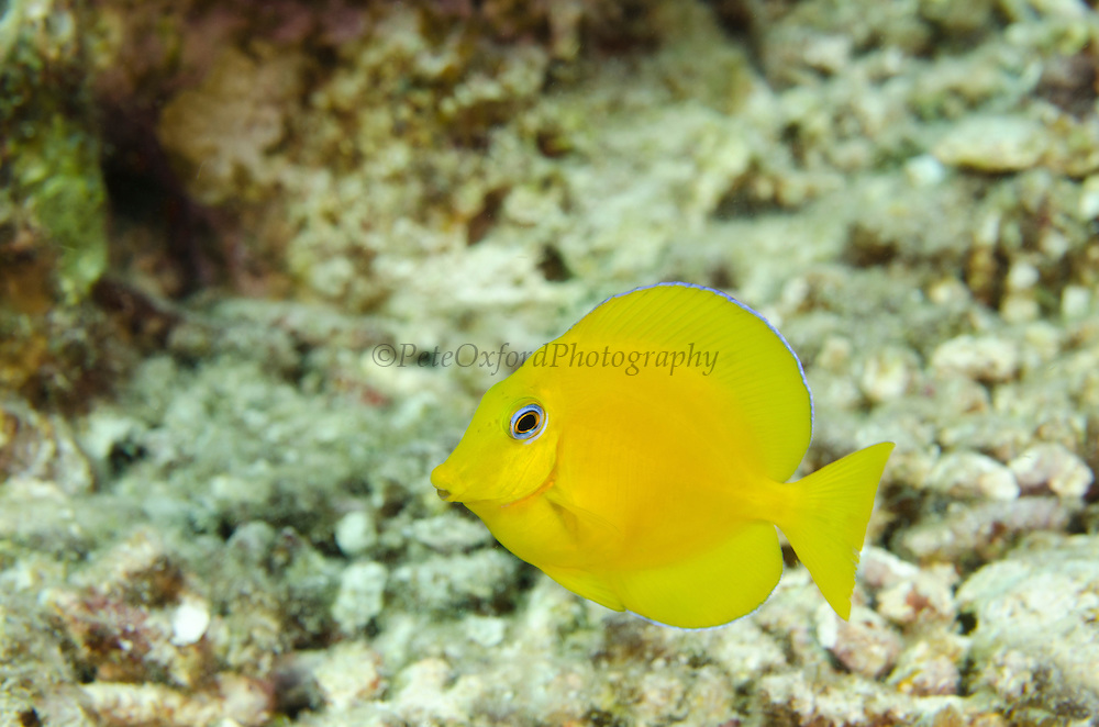 Blue Tang Juvenile (Acanthurus coeruleus)<br /> BONAIRE, Netherlands Antilles, Caribbean<br /> HABITAT & DISTRIBUTION: Reefs often in large aggregations.<br /> Florida, Bahamas, Caribbean, Gulf of Mexico, north to New York, Bermuda & south to Brazil.