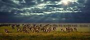 Wildebeest running, Serengeti National Park, Tanzania; the largest land mammal migration on earth.