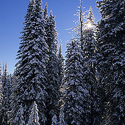 Idaho, Gallatin Targhee National Forest. Forest in winter.