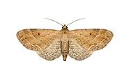 70.166 (1842)<br /> Plain Pug - Eupithecia simpliciata