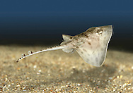 Thornback Ray Raja clavata Length to 90cm<br /> The most familiar inshore ray. Adult has a flat, roughly diamond-shaped body with a short snout. Dorsal surface of the long tail has thorny spines with swollen bases; these continue in a line along the dorsal surface of the body. Upper body surface is grey-brown with dark stripes or pale and dark spots; lower surface is pale. Tail looks banded. Lays eggs, protected in a tough case.