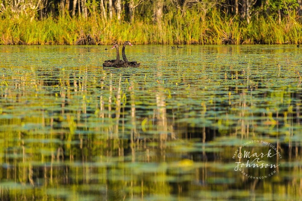 Black Swans in the Noosa River, Cooloola National Park, Queensland, Australia