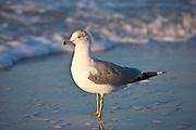 Ring-Billed Gull seagull, Larus delawarensis, on Gulf of Mexico shoreline, Anna Maria Island, Florida, USA
