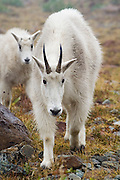 A female mountain goat (Oreamnos americanus) and her kid walk forward towards the camera near Ingalls Lake, Alpine Lakes Wilderness, Washington.