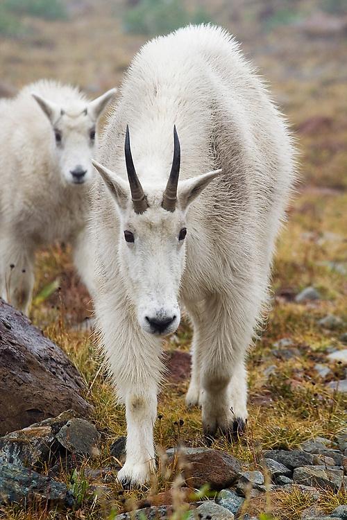 A female mountain goat (Oreamnos americanus) and her kid walk forward towards the camera near Ingalls Lake, Alpine Lakes Wilderness, Washington.