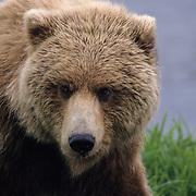 An Alaskan Brown Bear sub-adult on the Alaskan Peninsula. Alaska