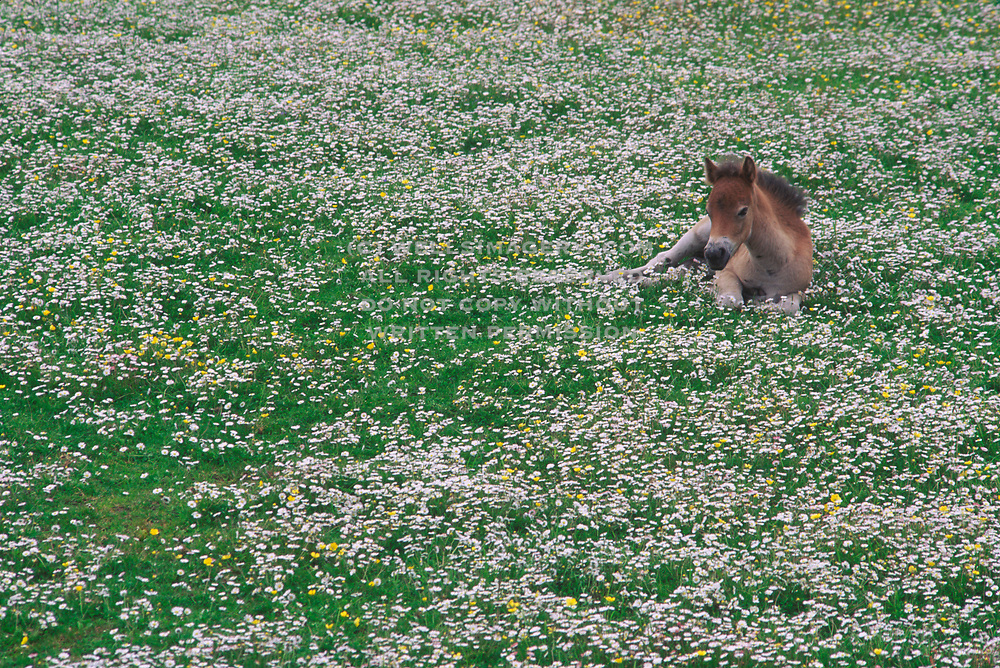 Image of a foal resting in a field of flowers in rural Scotland by Randy Wells