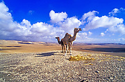 A female and juvenile Dromedary or Arabian Camels (Camelus dromedarius) walking in the desert. Photographed in the Negev Desert, Israel