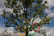 Giant Olympic rings seen behind a tree located on a hill in the Olympic Park during the London 2012 Olympics. The planting of 4,000 trees, 300,000 wetland plants and more than 150,000 perennial plants plus nectar-rich wildflower make for a colourful setting for the Games. This land was transformed to become a 2.5 Sq Km sporting complex, once industrial businesses and now the venue of eight venues including the main arena, Aquatics Centre and Velodrome plus the athletes' Olympic Village. After the Olympics, the park is to be known as Queen Elizabeth Olympic Park.
