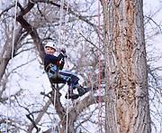 Recreational tree climbing in Colorado.