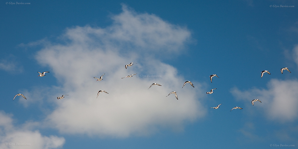 Flock of Oystercatchers flying against blue sky  and fluffy cumulus clouds