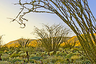 A wet winter and spring converted the barren Anza-Borrego Desert in southern California into a lush garden with Ocotillo populating the landscape as seen in evening alpenglo.