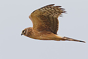 A juvenile northern harrier (Circus cyaneus) flies low over a field near Boundary Bay in southern British Columbia, Canada. Northern harriers frequently fly low over fields and marshes in search of small birds and mammals, which they catch with a sudden pounce.