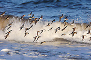 Mixed waders in flight,North Northumberland, England
