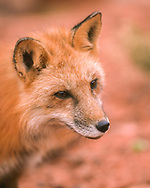 Red fox pauses and looks ahead, red sandstone country, southern Utah, [captive, controlled conditions] © David A. Ponton