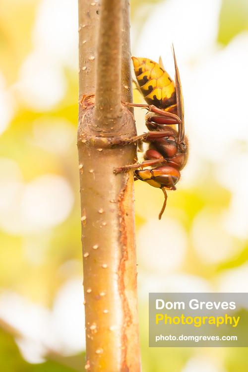 Hornet (vespa crabro) stripping bark from birch sapling and drinking sap. Surrey, UK.
