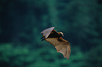 Golden-crowned flying fox (Acerodon jubatus) is listed as endangered - IUCN Red List.  .Subic Bay, Luzon, Philippines.  Sep 01.