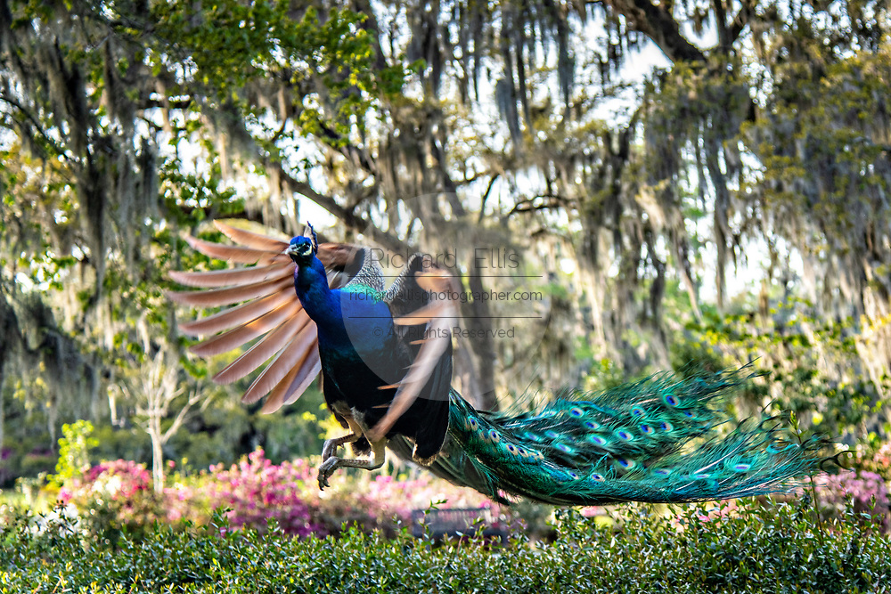 A male Indian peacock takes flight at Magnolia Plantation in Charleston, South Carolina. The plantation and gardens were built in 1676 by the Drayton Family and remains under the control of the Drayton family after 15 generations.