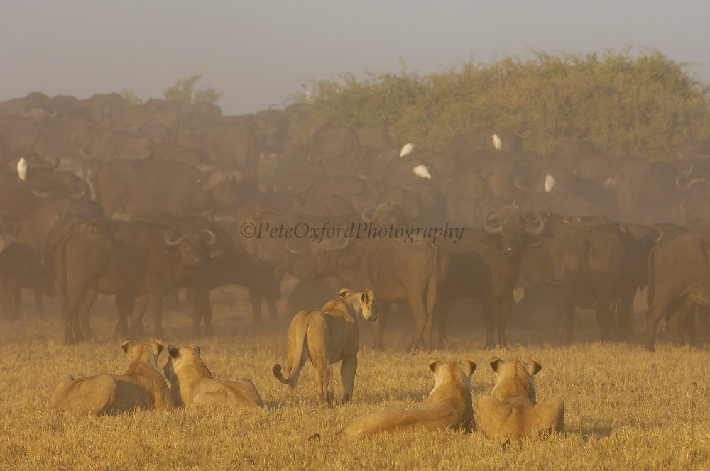 African Lion (Panthera leo) group watching Cape Buffalo (Syncerus caffer) herd, Africa