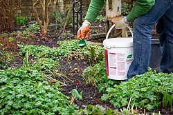 Feeding a border with slow release fertiliser pellets in spring.