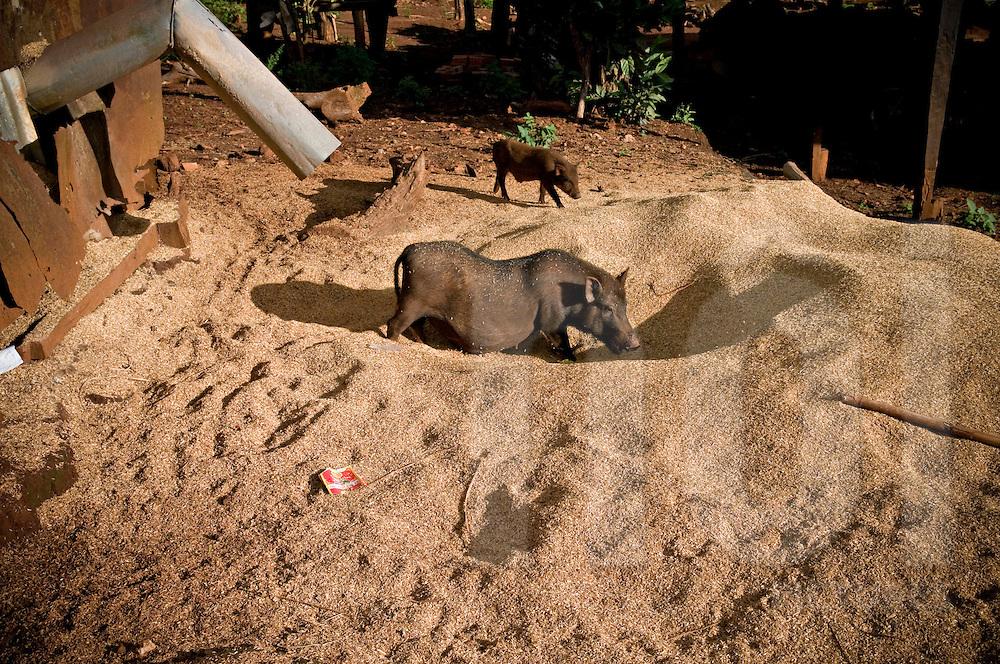 Free range black pigs eat grain, Pleiku area, Vietnam, Southeast Asia