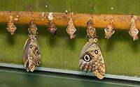 Owl Butterflies, Caligo sp., hang from chrysalises in the butterfly garden (mariposario) at Restaurante Selva Tropical, Guapiles, Costa Rica