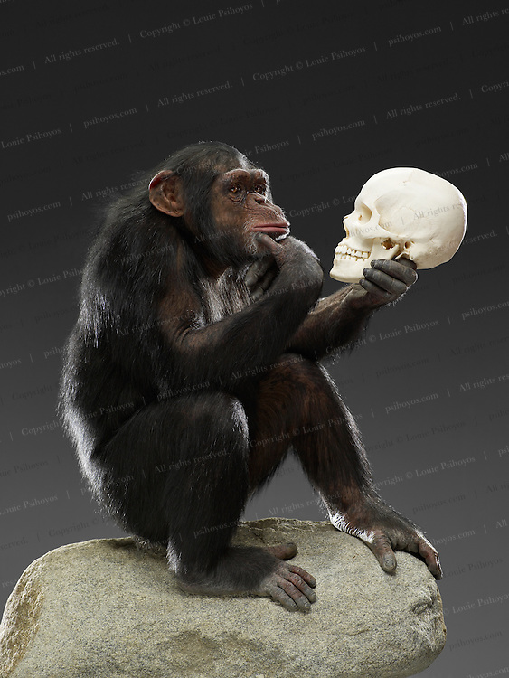 Picture of Chimp pondering a human skull