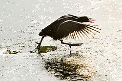 © Licensed to London News Pictures. 31/01/2019. London, UK. A coot struggles to break free from the ice on Pen Ponds in Richmond Park after a night of sub zero temperatures. More snow is expected in the south overnight tonight. Photo credit: Peter Macdiarmid/LNP
