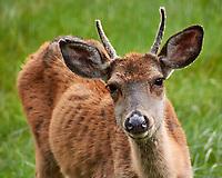Scrawny Buck. Image taken with a Nikon 1 V3 camera and 70-300 mm VR lens.