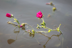 Winecup wildflowers in water after flood of Trinity River, Big Spring, Great Trinity Forest, Dallas, Texas, USA