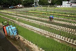Working at La Sazon organic garden in Havana; Cuba,