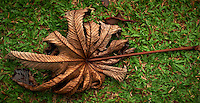 Large Leaf in Costa Rica. Image taken with a Nikon D3s and 50 mm f/1.4G lens (ISO 200, 50 mm, f/2.8, 1/320 sec).