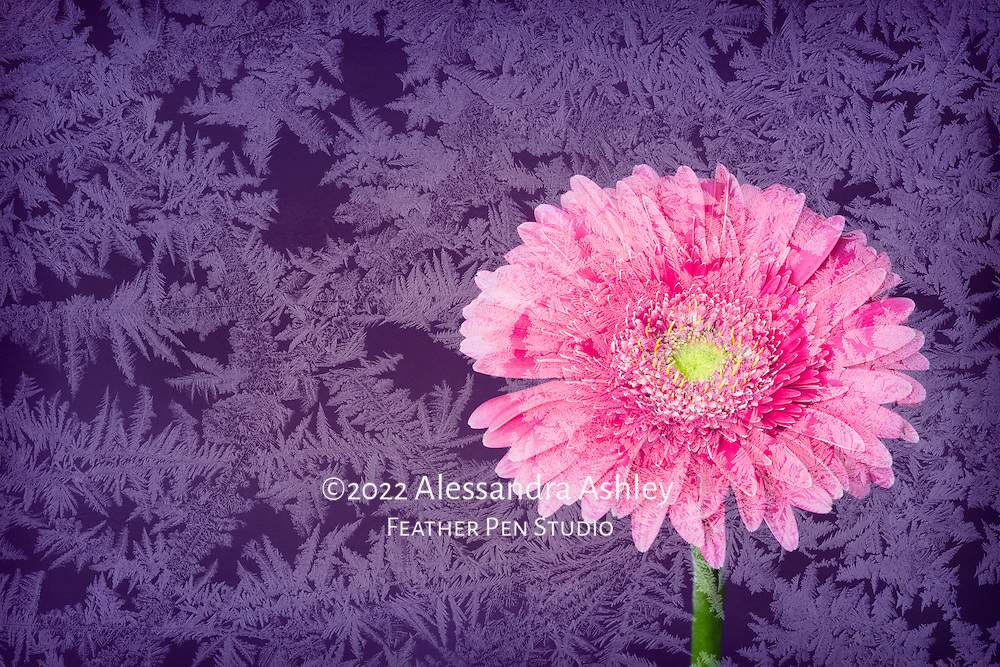 Pink gerbera daisy composited with frozen ice crystals in bright tones.