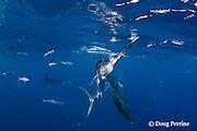 striped marlin, Kajikia audax (formerly Tetrapturus audax ), and California sea lions, Zalophus californianus, feeding on baitball of sardines, or pilchards, Sardinops sagax, off Baja California, Mexico ( Eastern Pacific Ocean )